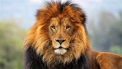 Lion Animals Wild Mane Amazing Wallpapers Animal