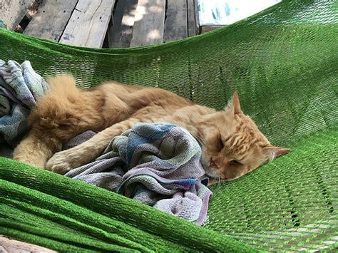 photo cat cat  hammock sleeping cat  image