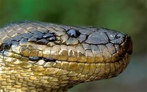 Head of close-Big Green Anaconda-Hd wallpaper ...