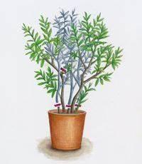 Pflege Von Oleander : oleander schnitt zeichnung msg sabine dubb garten garten oleander pflege und gem segarten ~ Eleganceandgraceweddings.com Haus und Dekorationen
