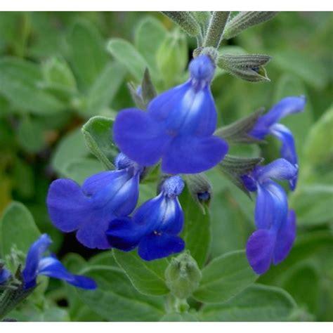 cuisine en violet sauge arbustive à floraison bleu roi salvia 39 bleu armor 39