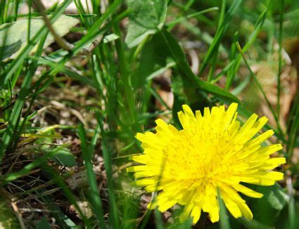 how to kill dandelions how to remove or kill dandelions