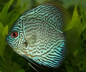 Public Domain Photos and Images: Discus fish of the genus ...