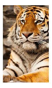 Free download 1018 tiger wallpaper 4k Tiger wallpaper 4k ...