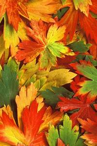 Fall Leaves Iphone Wallpaper | Free Fall Leaves Iphone ...