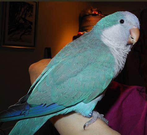 blue quaker parrot blue quaker parrot pets and other wonderful critters pinterest
