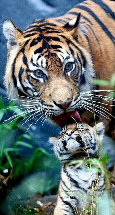 Best Tigres Bebes Images Pinterest Tigers