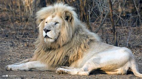 White Lion Wallpaper Hd 6300