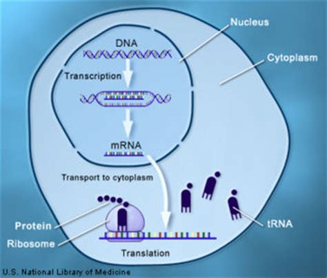 Dna Transcription  Creationwiki, The Encyclopedia Of Creation Science
