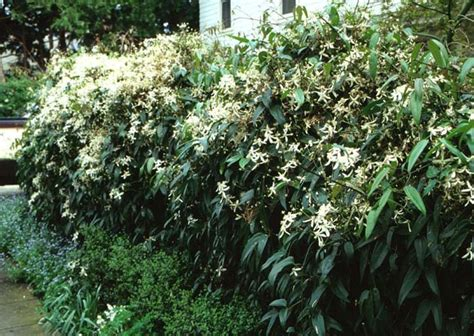 climbing vines for fences clematis armandii