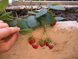 Plant De Fraise : comment faire pousser des fraises sur son balcon ~ Premium-room.com Idées de Décoration