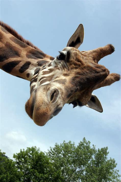 groupe cuisine plus girafe mieux connaître les girafes et leurs girafons le cou en fait le plus grand