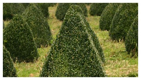 Wholesale Topiary Growers  Wholesale Topiary