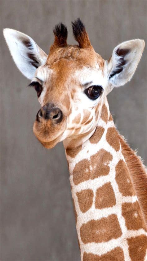 baby giraffe wallpaper  wallpapersafari