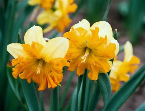 Narcišu audzēšana