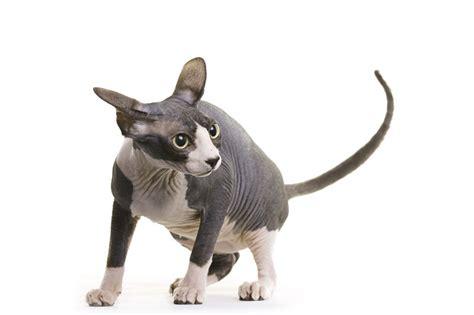 black  white cat breeds cat breeds encyclopedia