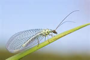 Lacewing Insect