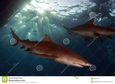 lemon sharks stock image image  lemon bottom aqua