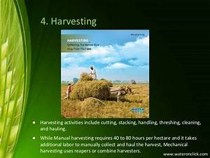 The Process Of Rice Farming