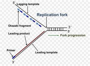 Simple Dna Replication Fork Diagram