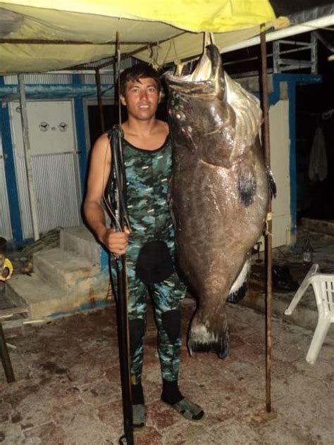 grouper record kg spearboard largest spearfishing fish quintero