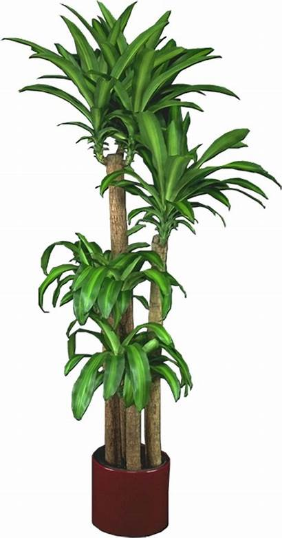 Indoor Plant Plants Tropical Office Low Bamboo