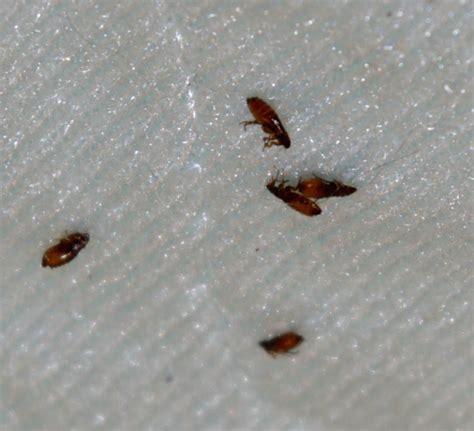 fleas      rid
