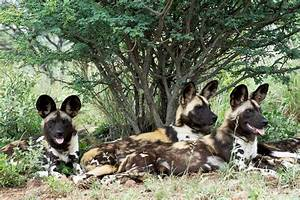African wild dog now a protected species in Namibia ...