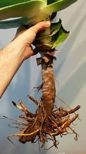 Aloe Vera Umtopfen : aloe vera barbadensis umtopfen pflegen schneiden veredeln green24 hilfe pflege bilder ~ Eleganceandgraceweddings.com Haus und Dekorationen