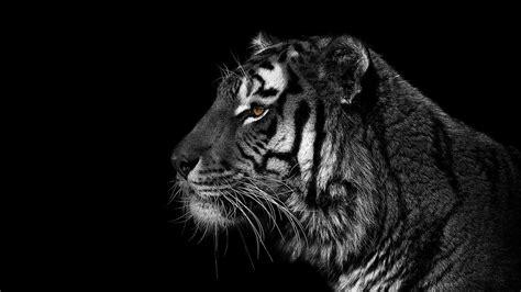 black  white animals tigers wallpaper