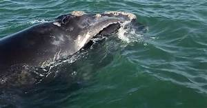 Endangered Right Whale Spotted Off Naples Coast
