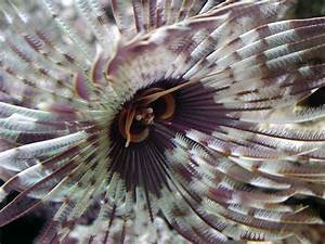 Feather Duster Worm Anatomy | www.pixshark.com - Images ...