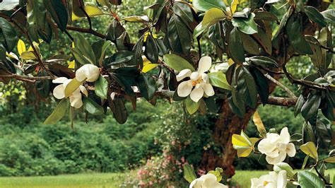 Yellow And White Kitchen Ideas - the complete guide to magnolia trees southern living