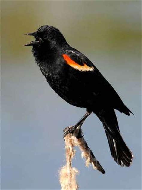 blackbird red winged chicago botanic garden