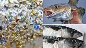 Kabeljau Und Makrele Plastik In Fischen Nachgewiesen WELT