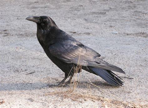 ravens   smartest birds   world