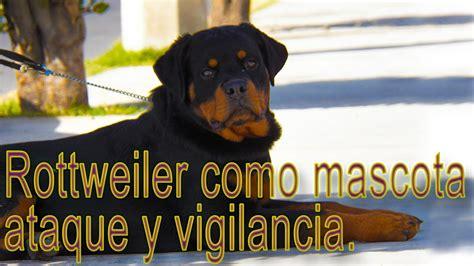 Perro Rottweiler, Ataque En Entrenamiento Canino, Lo Que