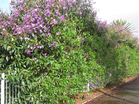 hedge with flowers hedges shade plants the trees flowers of whangarei