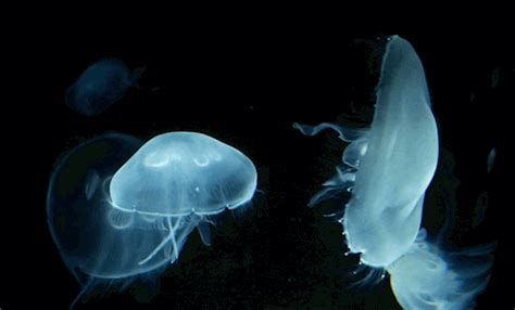 jellyfishes gifs find share  giphy