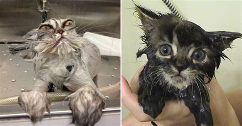 The Funniest Wet Cats Pictures All Time