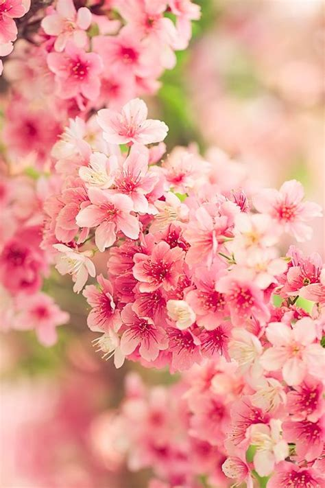 japanese for flower japanese cherry blossoms sakura 桜 fabulous flowers pinterest beautiful belle and spring