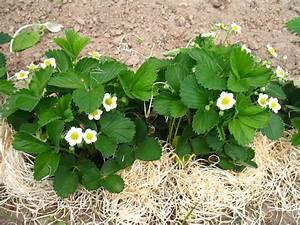 Pflanze Mit S : erdbeere pflanze mit bl ten medienwerkstatt wissen 2006 2017 medienwerkstatt ~ Orissabook.com Haus und Dekorationen