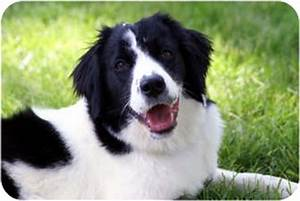 english springer spaniel border collie mix | Border Collie ...