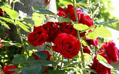 Roses Bush