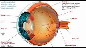 How The Human Eye Works