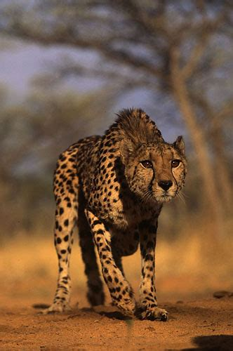 mixed hirse  cheetah pictures  images