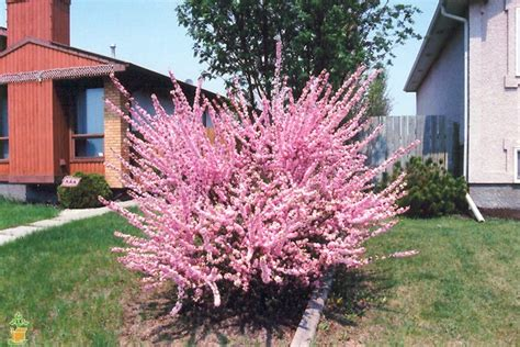 Dwarf Pink Flowering Almond For Sale!  The Planting Tree