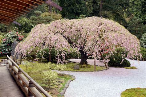 ipernity weeping cherry tree in bloom japanese