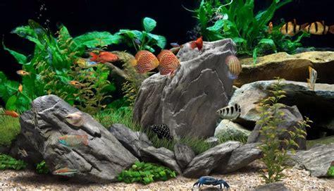 freshwater fish  aquarium aquarium adviser