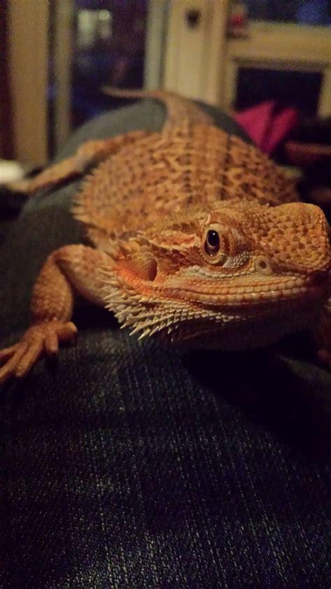 bearded dragon shedding general health questions